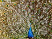peacock motley