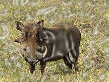 Warthog Motley